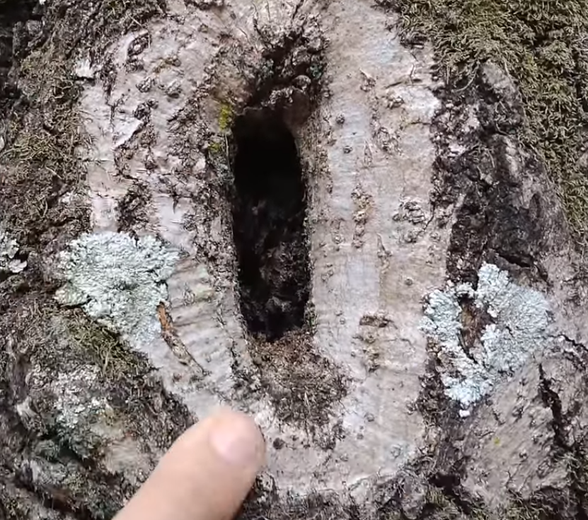 Poda de árvore feita errada